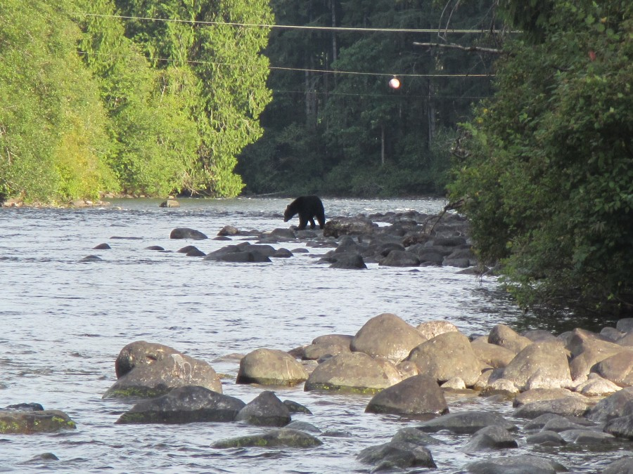 This bear was salmon fishing too!